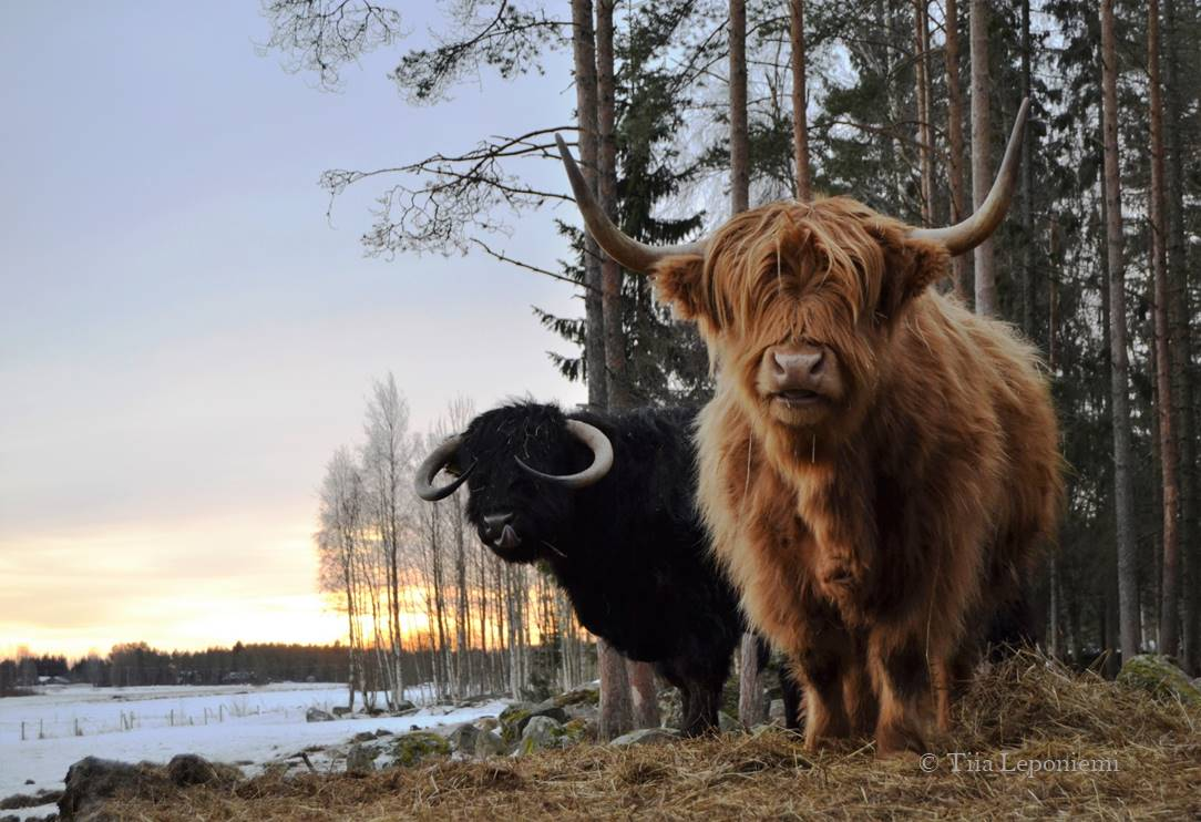 Lehmäkuva.